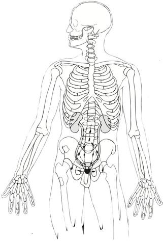 férfi nemi szerv részei