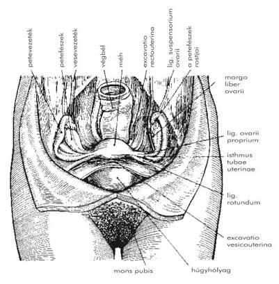 Nemi betegségek kivizsgálása, kezelése - Urológiai Központ, Krém a nemi szervek felállítására