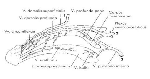 Zsírszövet a péniszen - A péniszen lévő pattanások - Anatómia September